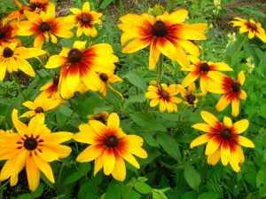 Gardeners please tell me if these are indeed Black-eyed Susans. (And how did Susan get her black-eye, anyway?)