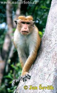 Red toque-macaque: But not the one on the boy's head.