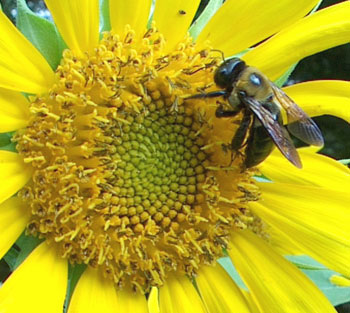 ���� ����� ����� ���� ����� bee-on-sunflower.jpg