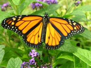 Male monarch (did not ask directions to Mexico, landed in Tennessee)