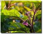 Eggplantflwr.3770w