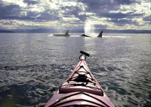 Orca sighting by kayak. Wow.