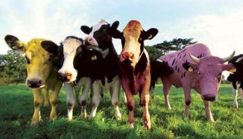 Trumoo cow jokes pictures - break up stock photos