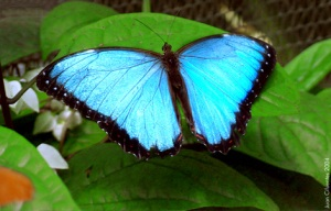Singing the blues: Endangered Amazon rainforest butterfly.