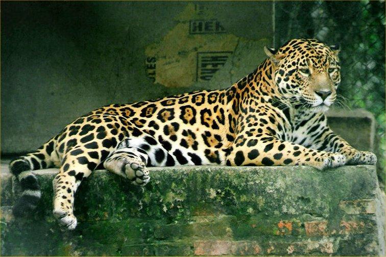 Better Sig Attempt Jaguar-42